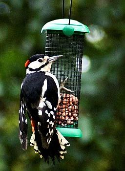 Great Spotted Woodpecker on the bird feeder